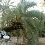 Pisa palmera. Belen Ferri